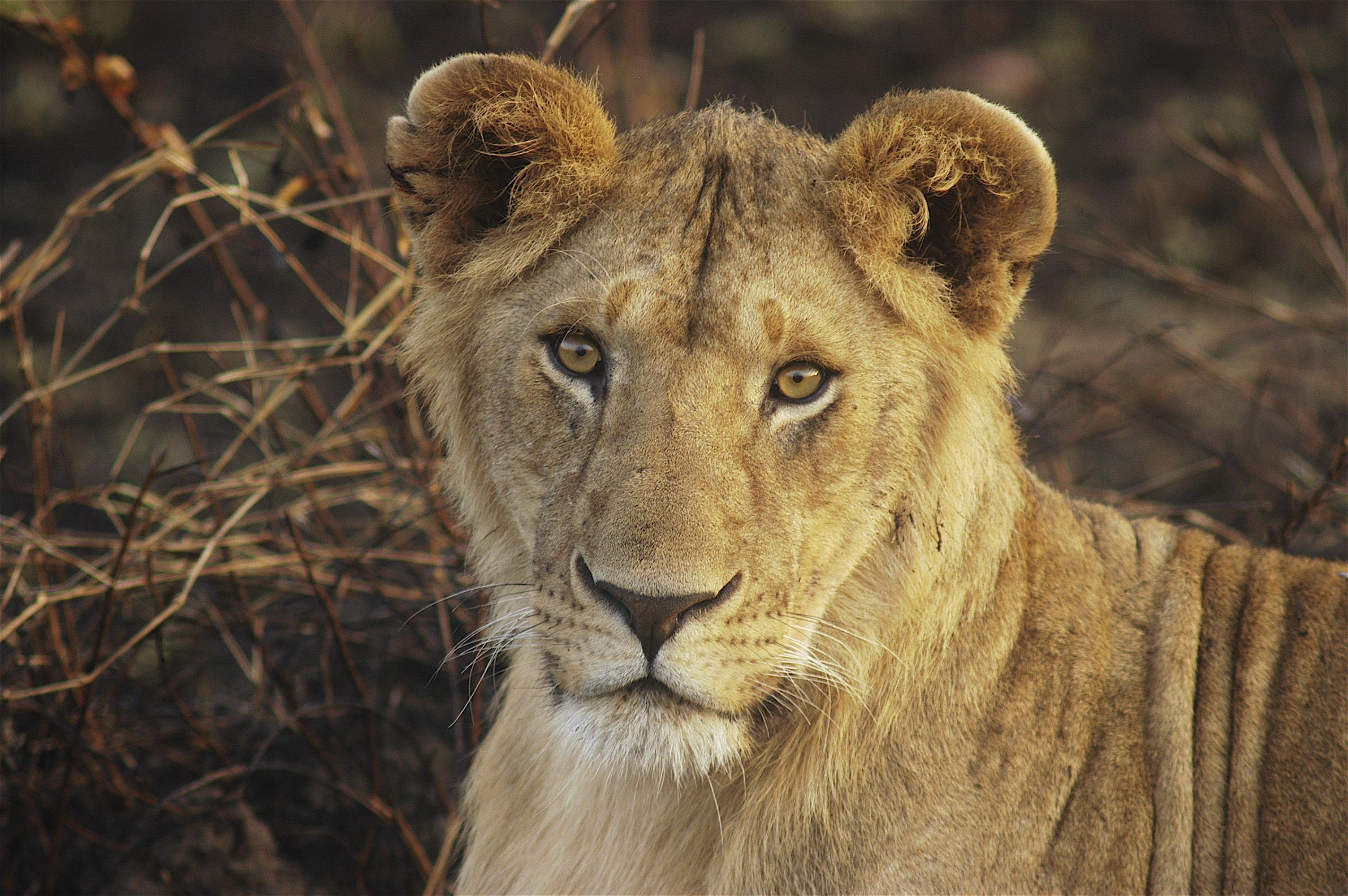 Young_Lion_Mara