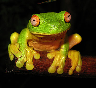 400px-Red-eyed_Tree_Frog_-_Litoria_chloris_edit1