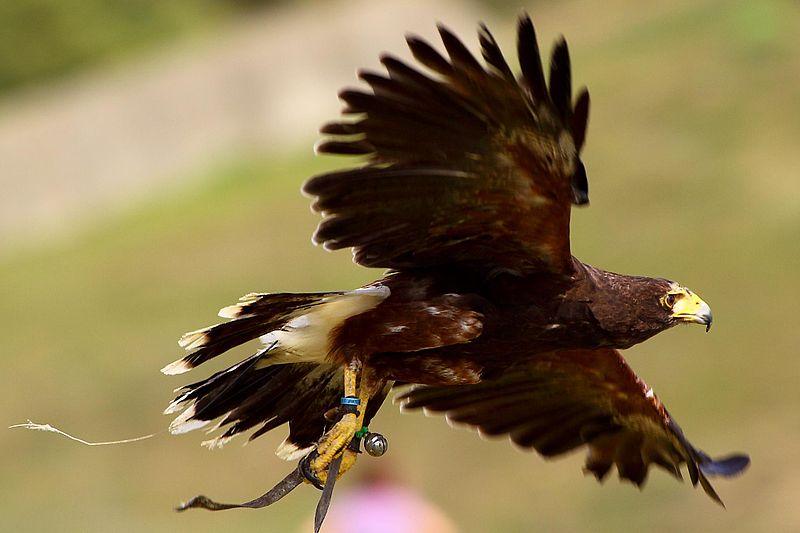 Hawk - Harris