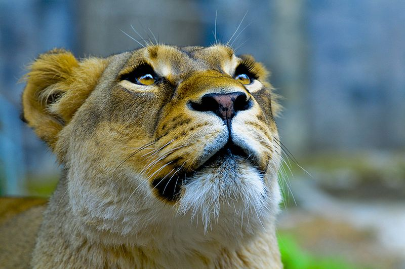 Lioness looking up