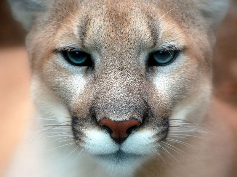 800px-Cougar_closeup