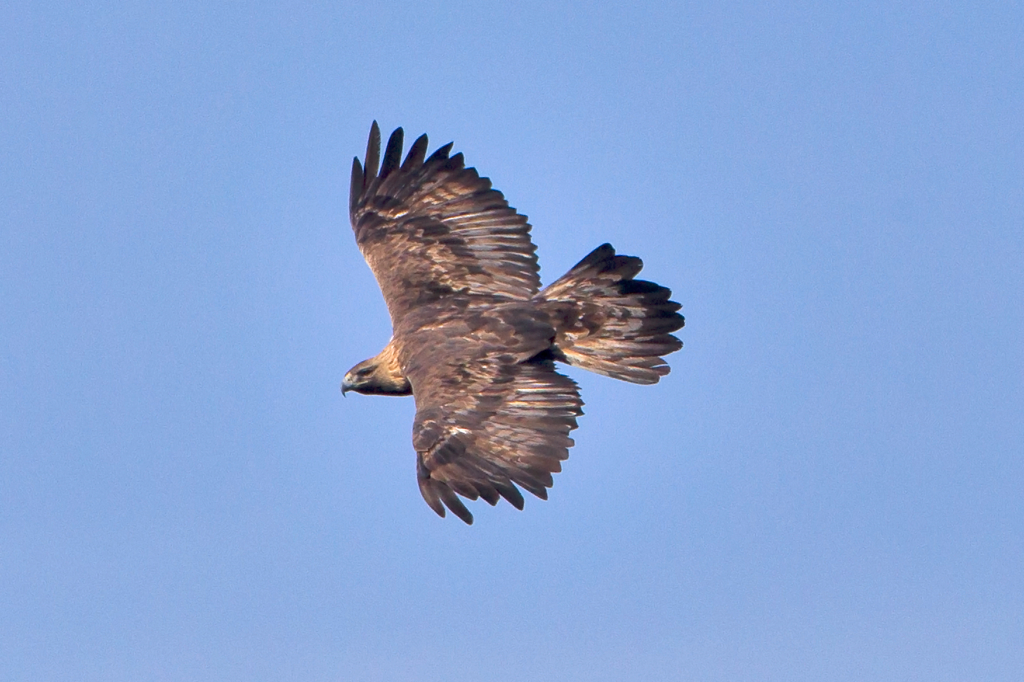 Golden_Eagle_2