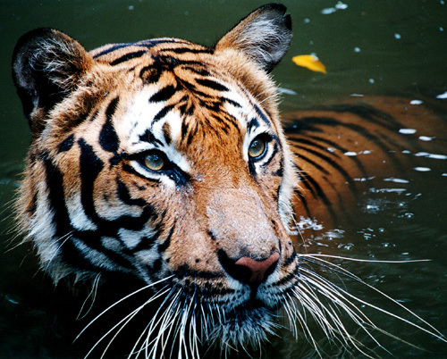 Tiger_in_the_water