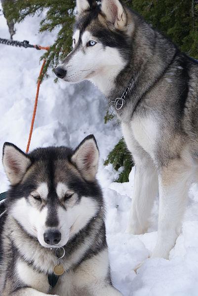 401px-Two_Siberian_Huskies