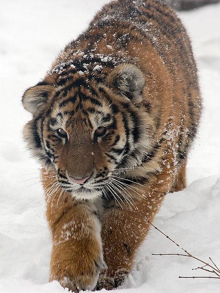450px-Amur_Tiger_Panthera_tigris_altaica_Cub_Walking_1500px