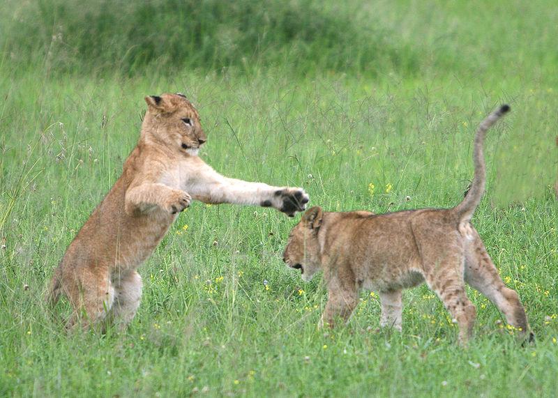 800px-Lion_cubs_Serengeti