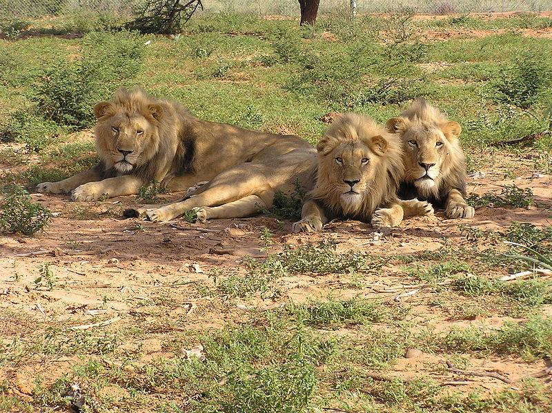 800px-Lions_lying