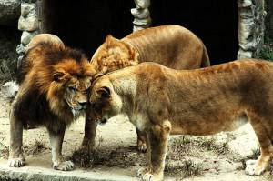 Lions-huddle