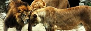 Lions-huddle-668x233