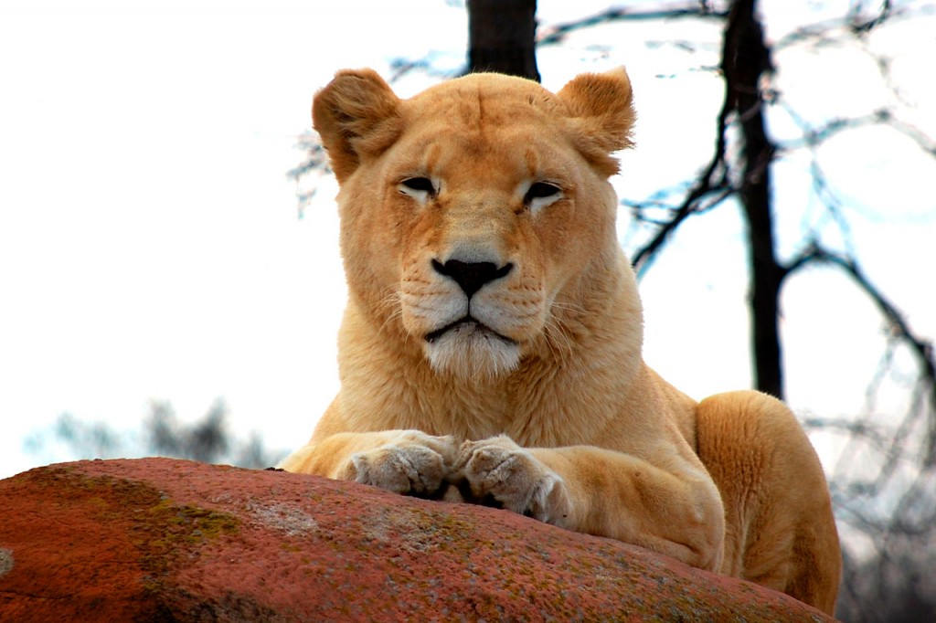 Lion Female Toronto