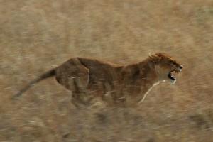 Serengeti_Lion_Running_saturated