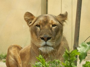 Female_lion_(Panthera_leo)_in_Tobu_Zoo,_Japan