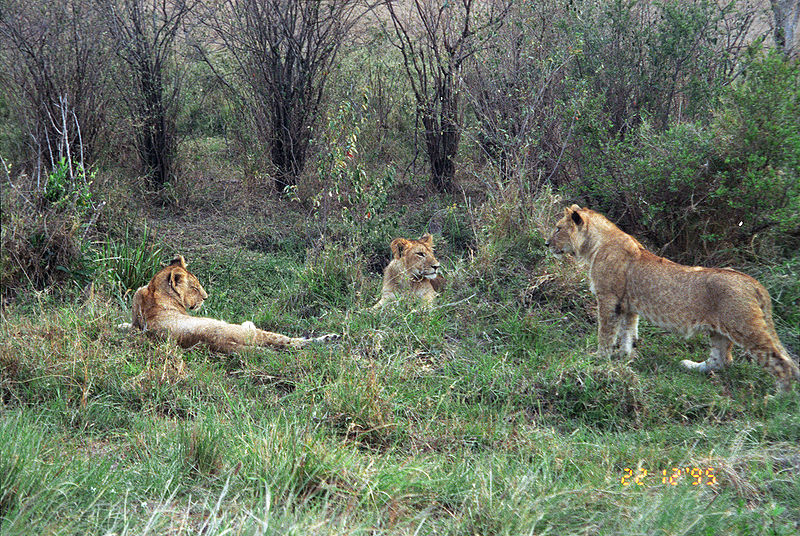 Lions Young