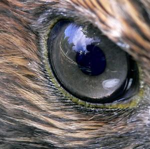 605px-Hawk_eye