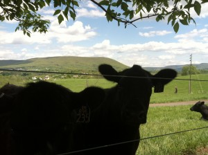 Optimistic cow reporter