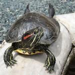 Tortoise1_cepolina