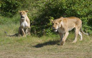 lionesses_masai_mara_kenya