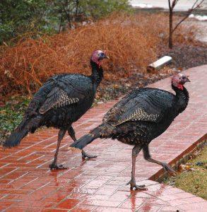 turkeys_on_path