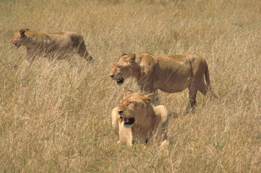Lions Hunting