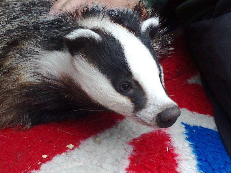 Rescued_badger_jpeg