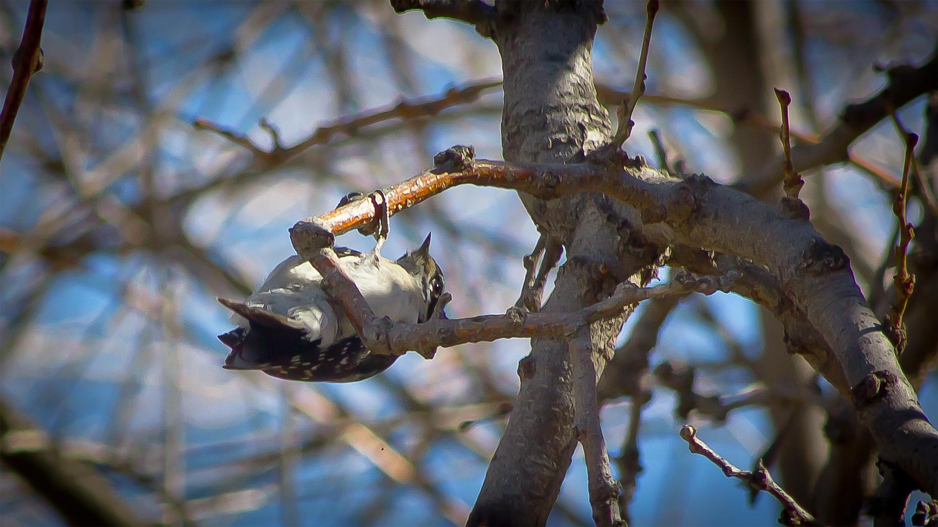 Upside Down Woodpecker